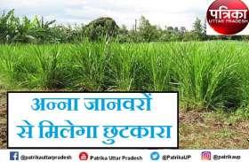 गुजरात और महाराष्ट्र में दुग्ध क्रांति लाने वाला हरा चारा बुंदेलखंड में रोकेगा अन्ना प्रथा, किसानों की समस्या होगी दूर