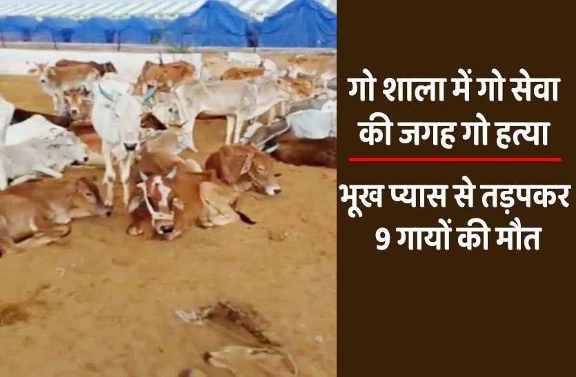 कर्मचारी ने काम छोड़ा, चार दिन गोशाला में लावारिस रही गायें, भूख प्यास के कारण 9 गायों ने तोड़ा दम