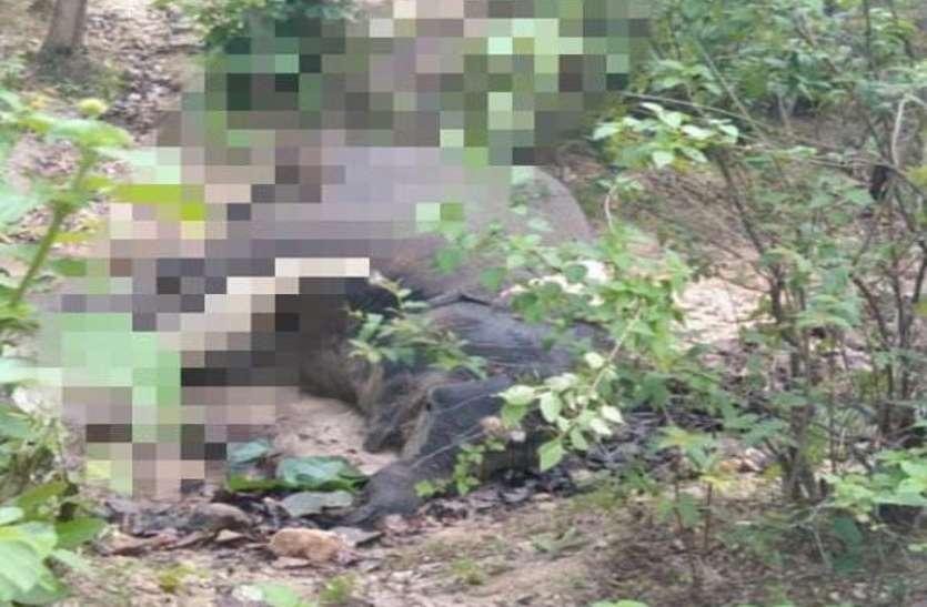 एक और हाथी की मौत, जंगल में मिली सड़ी-गली लाश, रेंजर समेत वन अमला बेखबर