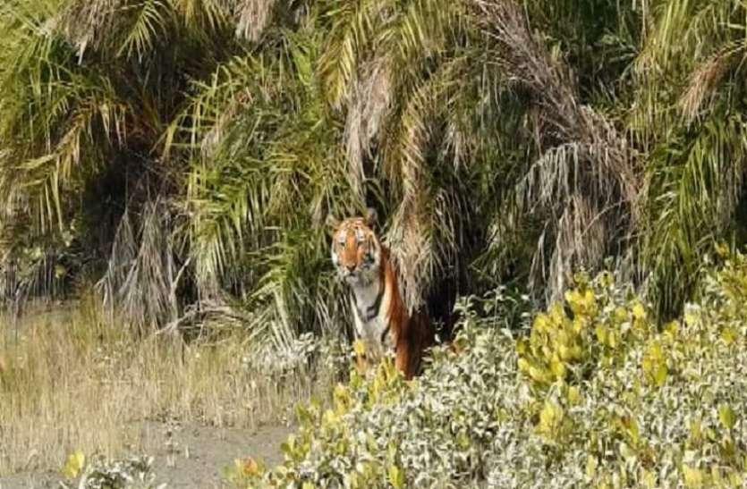 सुंदरवन में फिर बाघ का शिकार हुआ एक