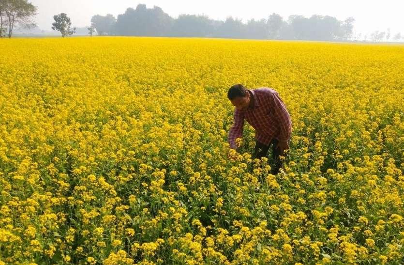 किसानों का तिलहन फसलों की ओर बढ़ रहा रुझान, सरसो में बंपर तेजी
