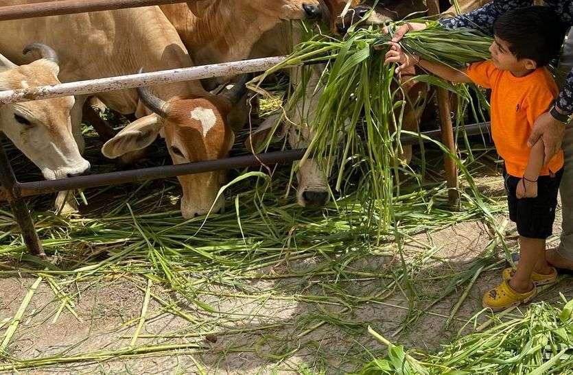 गाय को ओढाई साड़ी, खिलाया चारा