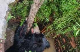 पहले सीढ़ी तोड़ी फिर खुद रस्सी और लकड़ी के सहारे कुएं से बाहर आया भालू