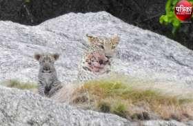 खुशखबरी : सैणा गांव की पहाड़ियों में पैंथर कुनबा बढ़ा, मां के साथ अठखेलियां करता नजर आया नर शावक