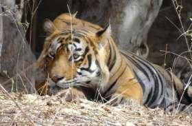 असम से 20 रॉयल बंगाल टाइगर मिलेंगे