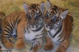 VIDEO: 3 माह के बाघ शावक की सड़क दुर्घटना में मौत