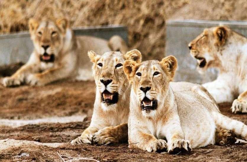 कोरोना के डेल्टा वेरिएंट ने बढ़ाई चिंता, चेन्नई के जूलॉजिकल पॉर्क में चार शेर पाए गए पॉजिटिव