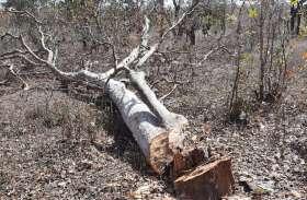 लकड़ी माफिया कर रहे जंगलों के सफाया