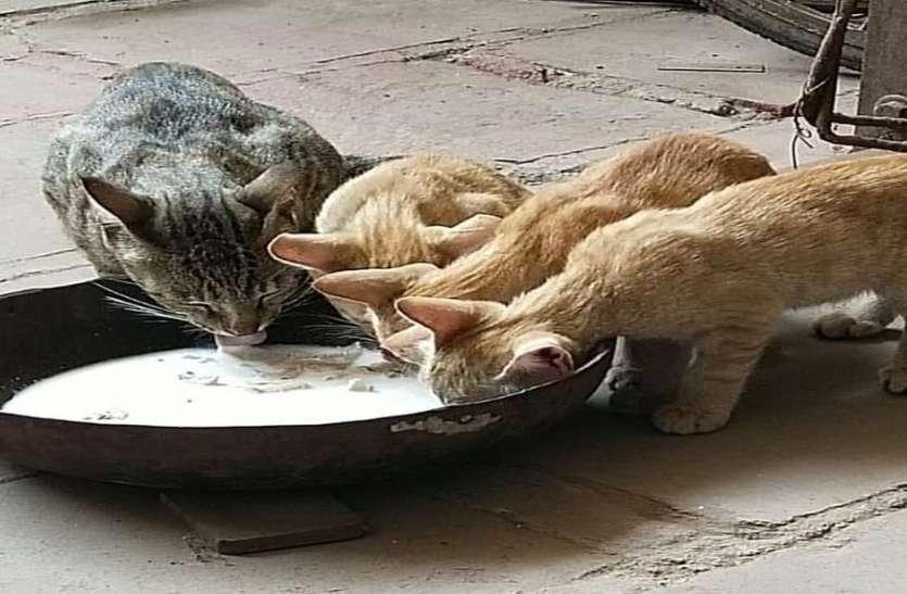 कोरोना लॉक डाउन में घरेलू बिल्लियों की आई शामत