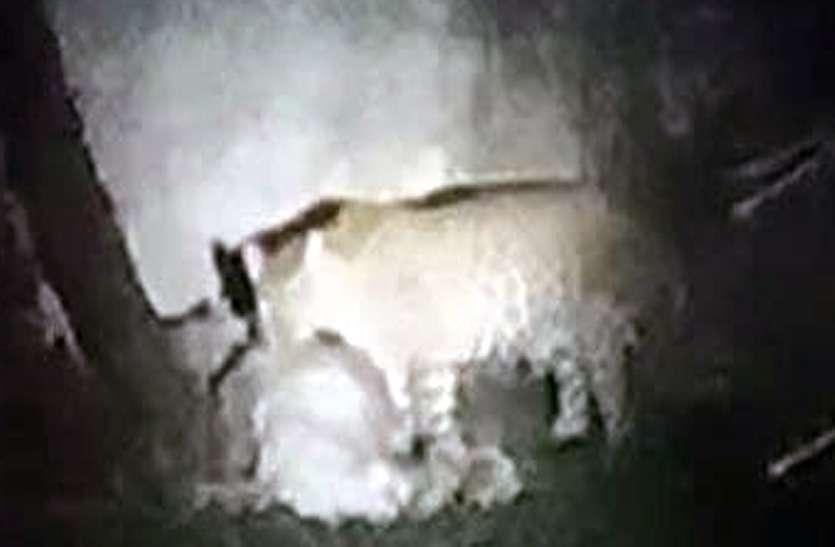 बघेरे ने तीन बकरियों का किया शिकार