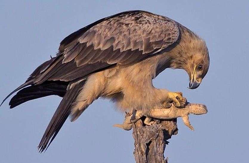 लिजर्डस के लिए तालछापर आते हैं शिकारी पक्षी