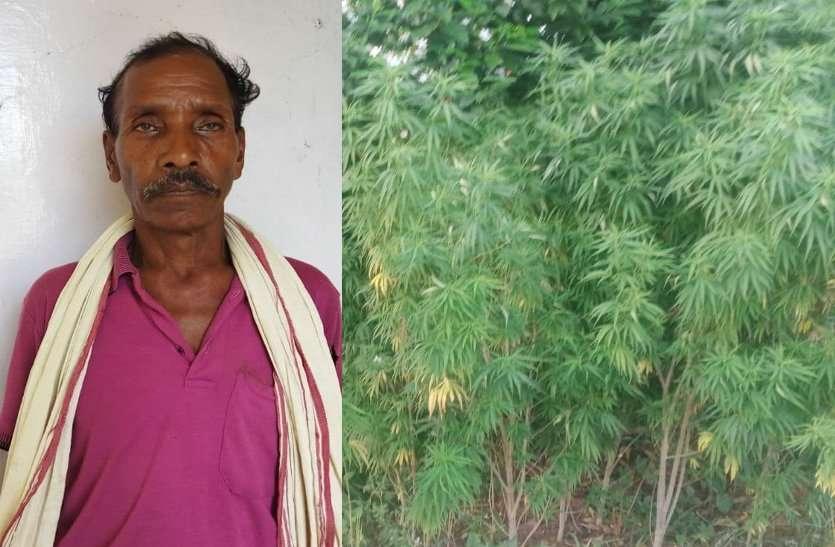 खेत में लहलहा रहे थे गांजा के पौधे, पुलिस ने किया जब्त