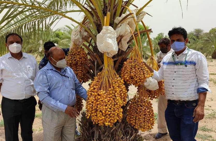 रेतीले धोरों में मिश्री सा मीठा खजूर, अरब देशों से लाई गई 64 किस्मों में से छह का चयन