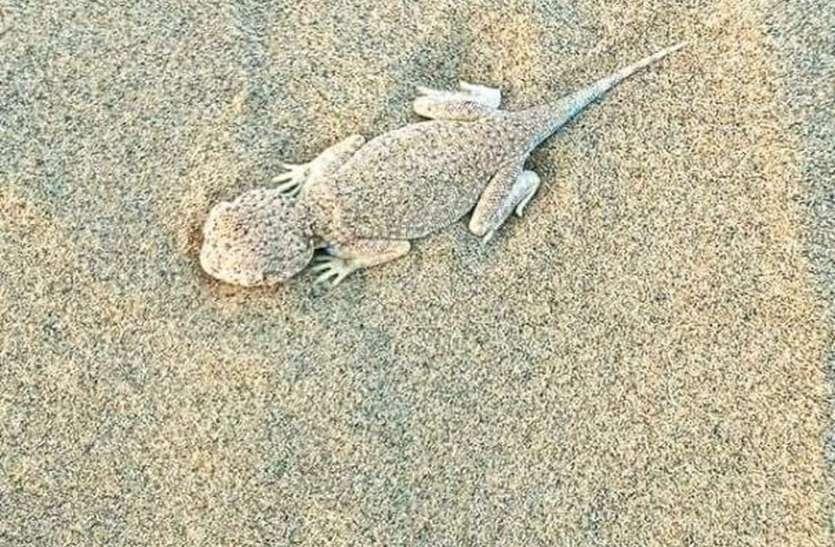 रेत के समंदर के बीच छिपा मरुस्थलीय जीवों का छलावरण
