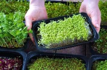बेडरूम से लेकर बालकनी तक कहीं भी उगाएं ये फसल, दो से तीन हफ्ते में शुरू हो जाएगी अच्छी कमाई