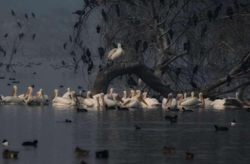 राजसमंद झील से ब्रिटिश इंडिया काल की कई पक्षी प्रजातियां गायब