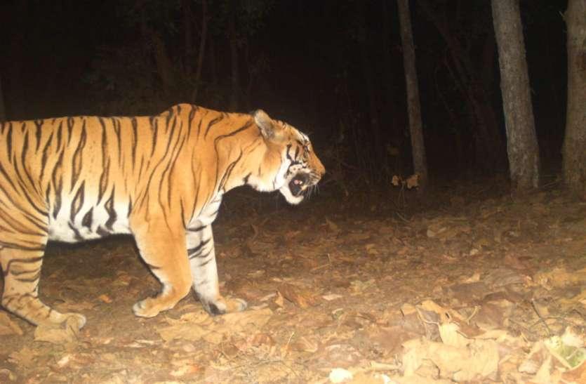 टी-7 की जीवटता इतनी की शिकारियों को मात देकर कर रहा जंगल में राज