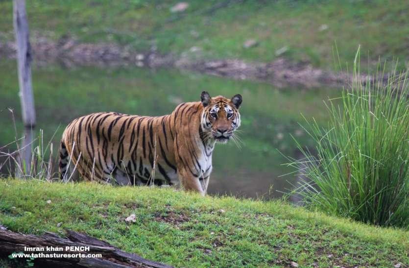 पेंच के कोर, बफर के बाद क्षेत्रीय जंगल से अब गांवों की ओर बढ़ रहा बाघों का पदचाप