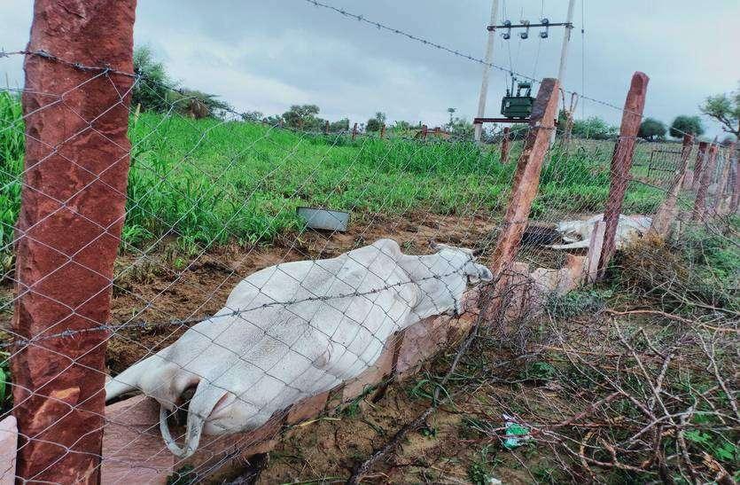 ट्रांसफार्मर से टूटा इंसुलेटर, दो गायों की मौत