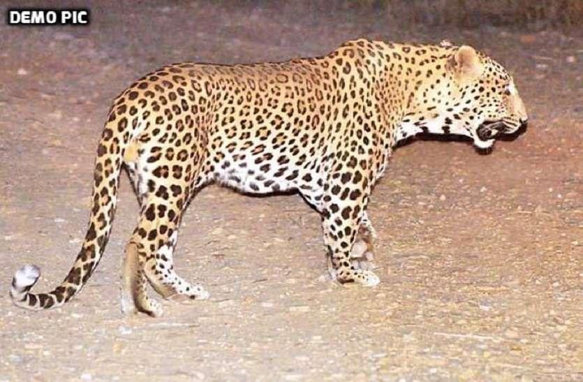 आमेर में बघेरा दिखने से हड़कम्प
