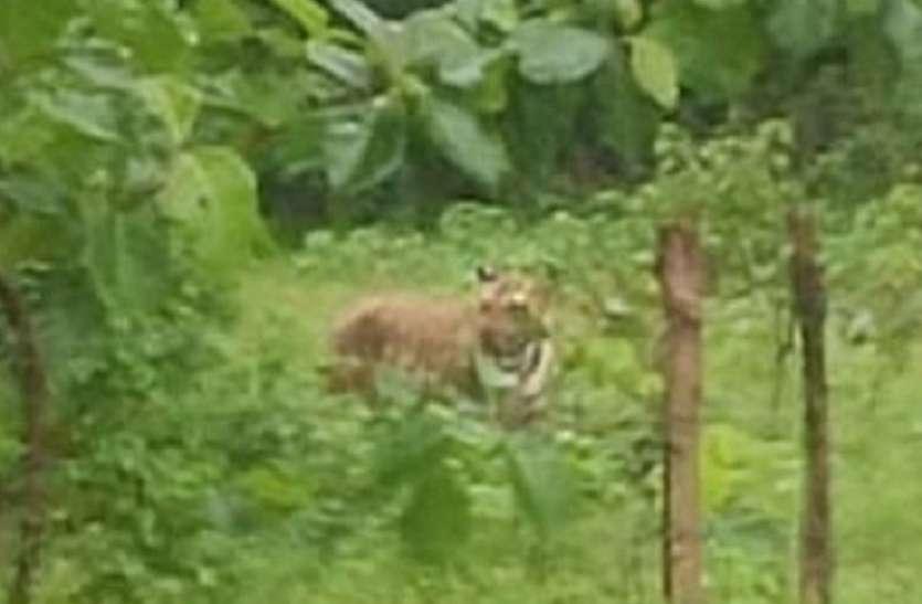 अलग-अलग स्थानों पर बाघ की चहलकदमी से ग्रामीणों में दहशत