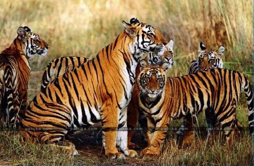 बाघ संरक्षण क्षेत्रों के प्रबंधन में मध्यप्रदेश फिर होगा टॉप पर