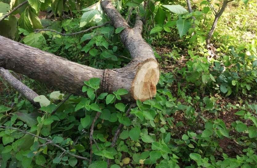 तारादेही व तेजगढ़ रेंज में सागौन के साथ अन्य पेड़ों की कटाई