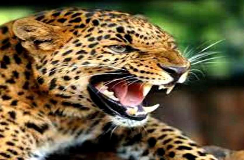 आदमखोर तेंदुए ने किया महिला का शिकार, रात में घसीटकर ले गया, शरीर का आधा हिस्सा देख परिजन सहमे