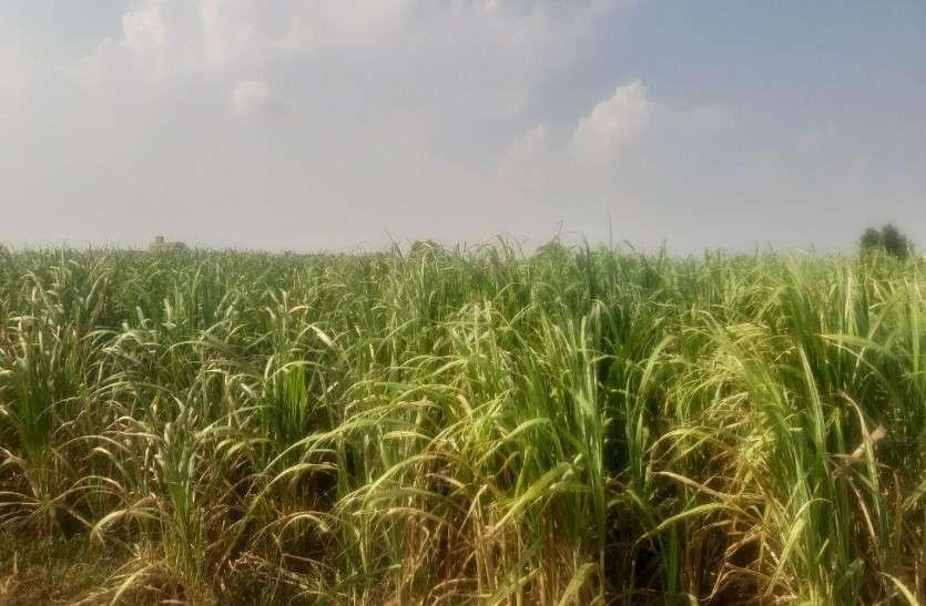 गंगनहर में अपर्याप्त सिंचाई पानी,अत्यधिक तापामन व कम बारिश की वजह से गन्ना का उत्पादन होगा कम