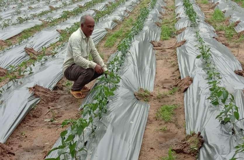 मिर्च की खेती से किसान चन्द्रशेखर की आमदनी ढाई गुना तक बढ़ी