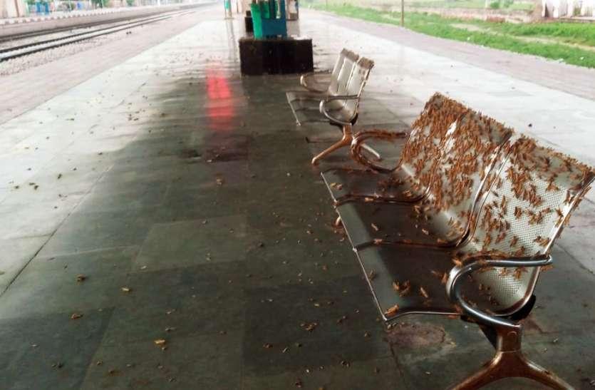 खेतों से उड़ रेलवे स्टेशन पर आया फड़का, रेलकर्मी व यात्री परेशान