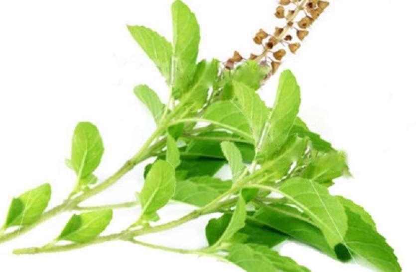 Health Tips: तुलसी की पत्तियों का नियमित सेवन बीमारियों से रखेगा दूर, जानें सही तरीका