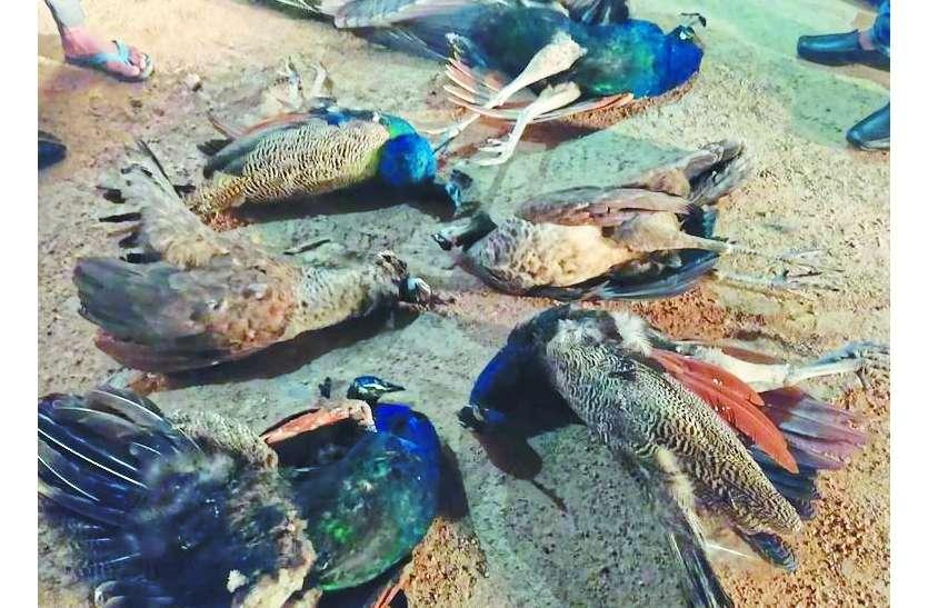 मृत मिले 6 मोर, वन्य जीव प्रेमियों जताया रोष