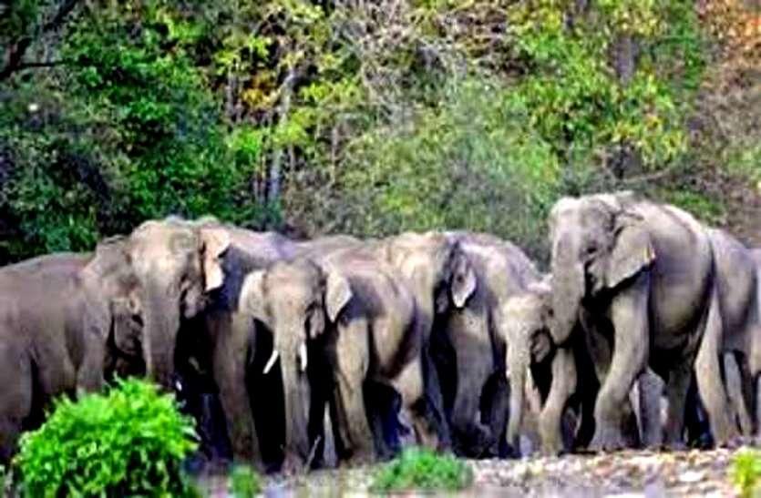 बालोद के बाद राजनांदगांव पहुंचा 22 हाथियों का दल, दहशत में वनांचल के कई स्कूलों को करना पड़ा बंद