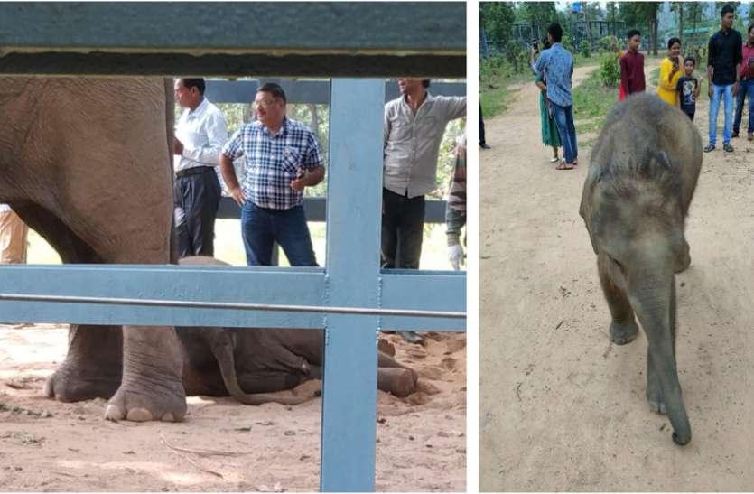 Breaking News: 24 घंटे के भीतर कुमकी हाथियों के 2 शावकों की मौत से मचा हड़कंप, इस वायरस से मौत की संभावना