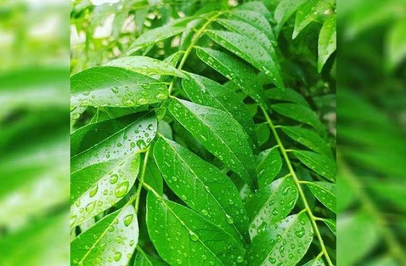 Curry Leaves Face Pack Benefits: सेहत ही नहीं त्वचा के लिए भी बेहद गुणकारी है करी पत्ता