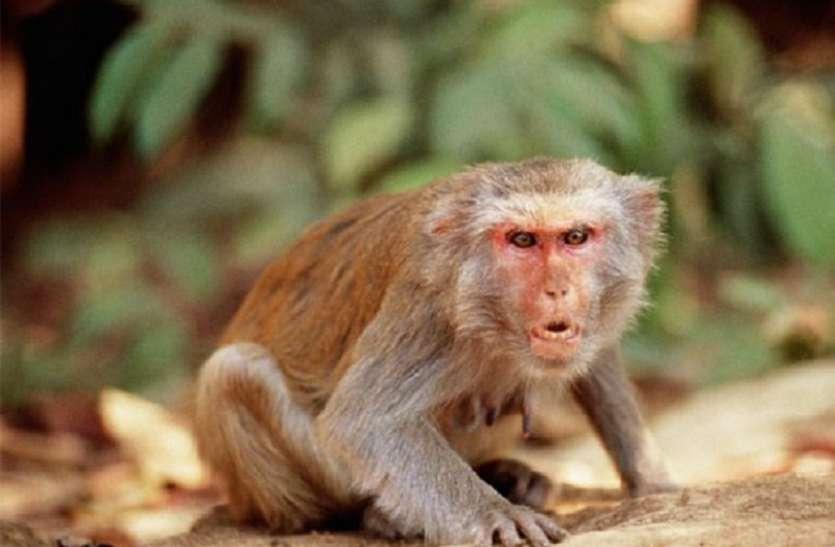 ऑटो चालक से बदला लेने के लिए बंदर पहुंचा 22 किलोमीटर दूर