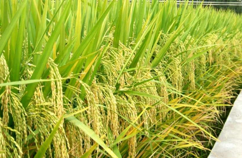 Paddy Cultivation:  विपरीत आबोहवा के बावजूद जिले के किसानों ने स्वीकारी चुनौती