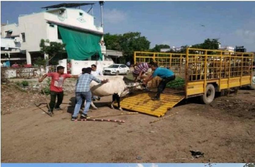 अहमदाबाद की सड़कों पर घूम रहे 42 पशुओं को पकड़ा