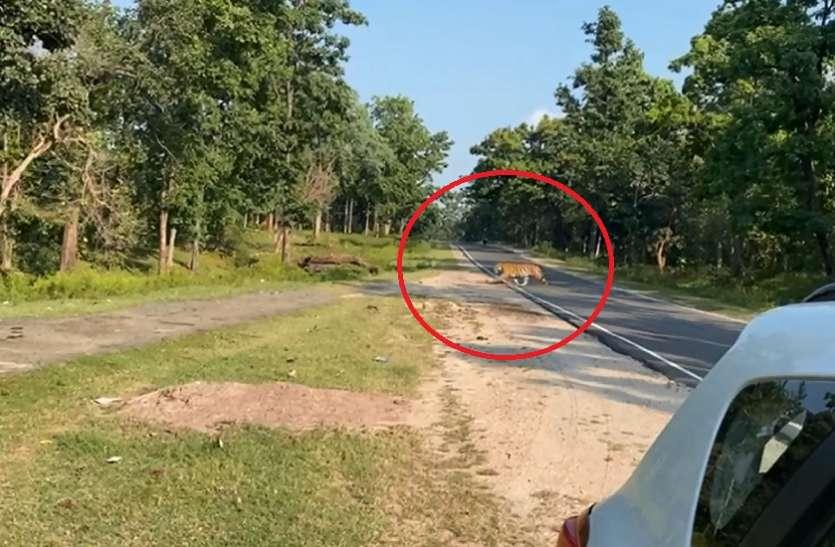 लालबर्रा-सिवनी मार्ग पर बाघ की बढ़ रही चहल कदमी