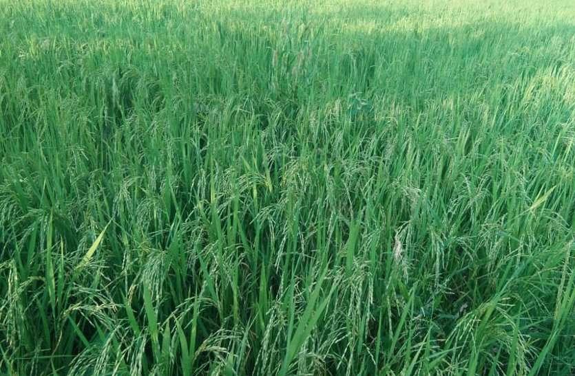 गिरदावरी में की पटवारियों ने लापरवाही, किसान नहीं करा पा रहे पंजीयन