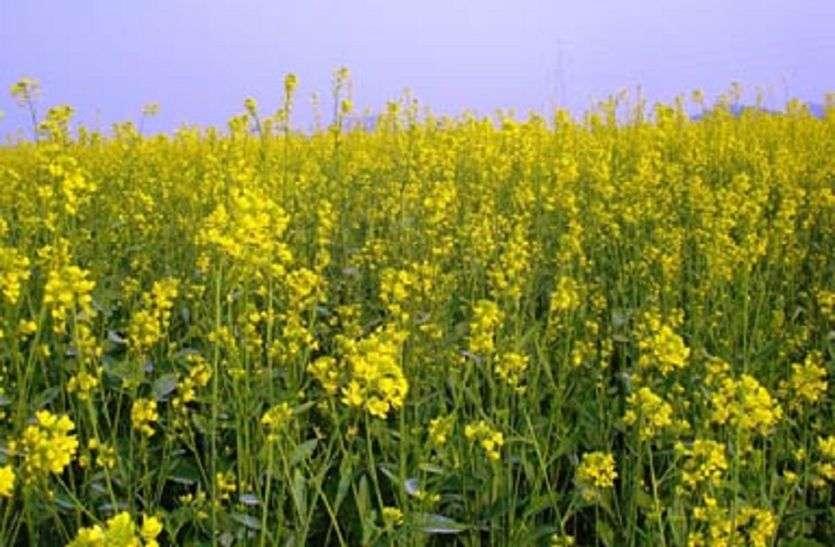 सरसों की  फसल गलन से बचाने के लिए किसान अभी से कर सकते हैं उपाय