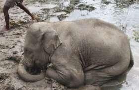 नाला पार करते दलदल में फंसे हाथी के शावक की मौत, हाथियों ने निकालने की थी कई बार कोशिश