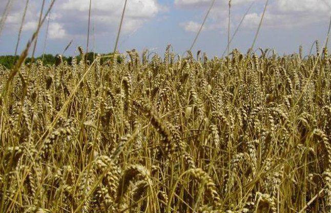 हरियाणा में नहीं होगा जीएम फसलों का परीक्षण