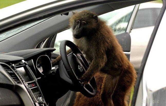 ड्राइवर सो रहा था, बंदर बस चलाकर ले भागा