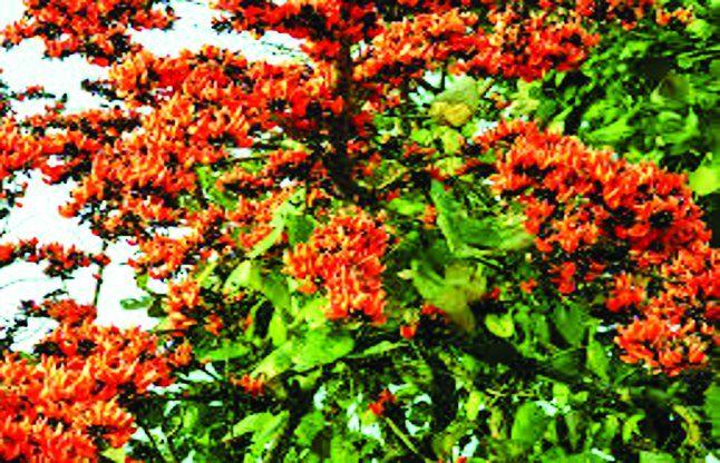 "Raipur : Chhattisgarh's ""Palash"" Enhanced Demand In ... Palash Flower In Hindi"
