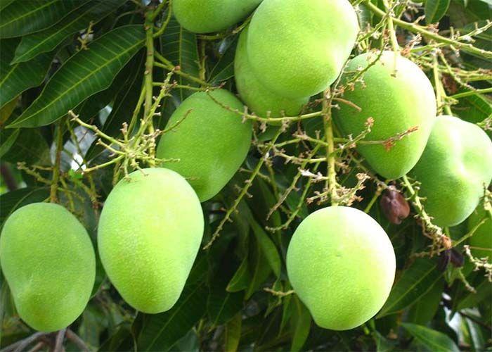 practices around growing mangos