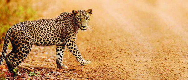 पानी की तलाश में गावों में आ रहे तेंदुए और बाघ