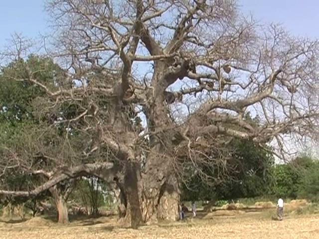 तीन सौ फीट ऊंचा पेड़ बना आकर्षण का केंद्र