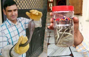 जब एक एक कर घर के फर्श के नीचे से निकले 40 कोबरा